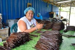 Polynésie Française Raiatea Dans l'atelier de préparation d'Alain Abel, Gilda est au tri et à la finition des gousses de Vanilla Tahitensis