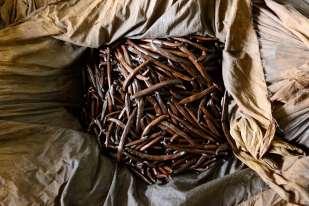 """Polynésie Française Raiatea """"Vanilla Tahitensis"""", mises à mûrir dans des sacs de toile en attendant les périodes de soleil pour le séchage en extérieur."""