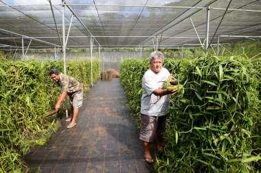 Polynésie Française Ile Tahaa, à Huamene. Dans une ombrière, les pieds de vanille s'enroulent autour d'un tuteur artificiel. Moïse en est le propriétaire (bras en écharpe), et Denis Davio est le responsable de l'Epic