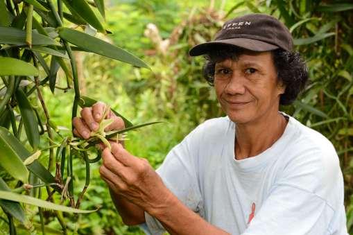 Polynésie Française Raiatea Dans sa plantation située à Opoa, Désirée produit de la vanille sur tuteur naturel, et féconde manuellement toutes les fleurs