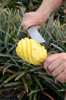L'ananas Victoria de LA REUNION A la maison de l'ananas, au Tampon, chez Bertrand Bègue, qui épluche un ananas. Technique pour enlever les yeux.
