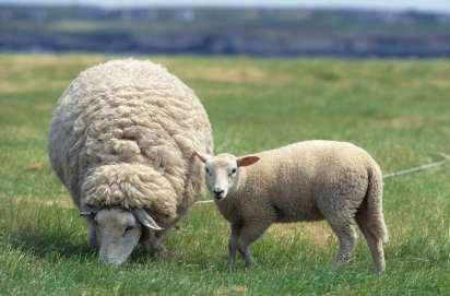 FINISTERE - Ile d'Ouessant Moutons prés-salés